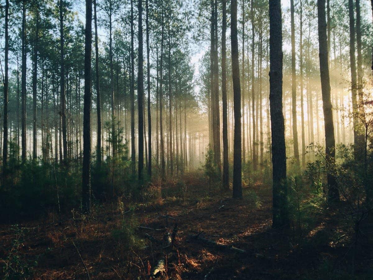 drvece u sumi kroz koje se probija svetlost